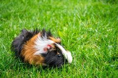 pet guinea pig on juicy grass royalty free stock photos
