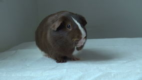 Pet Guinea pig looking forward stock video footage