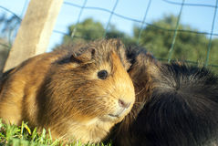 Pet guinea pig royalty free stock images