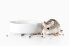 pet Hamster de Roborovski d'isolement sur le fond blanc Images stock