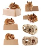 Pet hamster series Royalty Free Stock Image