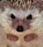 Portrait of a pet hedgehog showing its cute face. Royalty Free Stock Photography