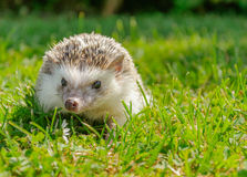 Pet hedgehog. Domestic hedgehog in city garden Stock Images