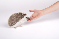 A pet hedgehog eating food from a child`s hand. On a white background Stock Photo