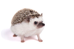 A pet hedgehog isolated. A pet hedgehog on an isolated white background Stock Photography