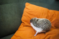 Pet hedgehog Royalty Free Stock Image