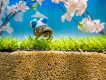 A pet hermit crab in a shell painted Royalty Free Stock Photos
