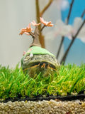 A pet hermit crab in a shell painted. Fukuoka, Japan - apr 6, 2015 :  A pet hermit crab in a shell painted Stock Photos