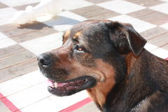 Pet on holiday. With dog on holiday in Neuerburg (Germany royalty free stock photos