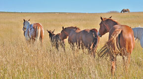 Pet horses traveling in a group Royalty Free Stock Photo