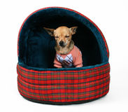 Pet house. A tiny chihuahua sitting in a pet bed Royalty Free Stock Photos