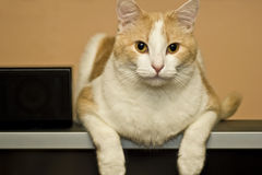 Pet house cat. House cat relaxes on big screen television stock photo