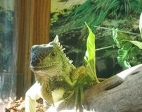 Pet Iguana. In a Tank Royalty Free Stock Images