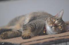 Pet il gatto Immagini Stock