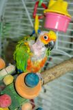 Pet Jenday Conure parrot with plucked head and neck, Stock Image