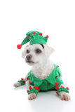 Pet Jester or Christmas Elf. A small pet dog wearing a green and red elf or jester costume and looking intently or inquisitively.  White background Royalty Free Stock Photos