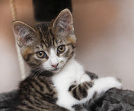 Pet kitten. Cute family kitten cat pet with great eyes Royalty Free Stock Photography