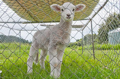 Pet  lamb Royalty Free Stock Images