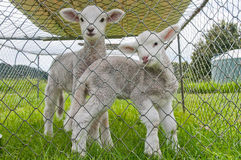 Pet  lambs Stock Photo