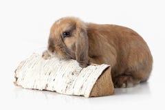pet Lapin d'isolement sur le fond blanc photos stock