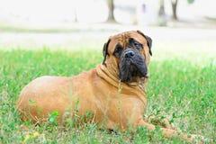 Pet large red dog bullmastiff Royalty Free Stock Photo