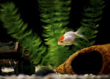 Pet. Lionhead in the tank. Single goldfish, a lionhead, in the tank royalty free stock photo
