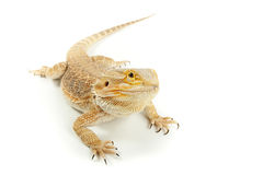 Pet lizard Bearded Dragon - Pogona vitticeps on white background Stock Photos