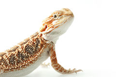 Pet lizard Bearded Dragon - Pogona vitticeps on white background Royalty Free Stock Photography