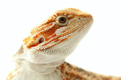 Pet lizard Bearded Dragon - Pogona vitticeps on white background Stock Photography
