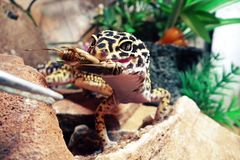 Gecko Lizard Eublephar Eats Cricket. Pet lizard gecko eublephar eats cricket served to her stock image