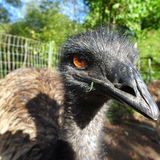 Pet male emu flightless bird. Closeup of pet male emu with grass in his mouth, large flightless bird Stock Photo
