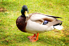 Pet Mallard. A large plumped up male Mallard duck pet standing in the grass. Shallow depth of field Royalty Free Stock Photo