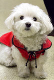 Pet. A Maltese purebred dog Royalty Free Stock Image