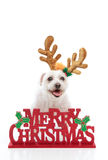 Pet with Merry Christmas message. A happy pet dog wearing reindeer antlers stands behind a Merry Christmas message.  White background Stock Image