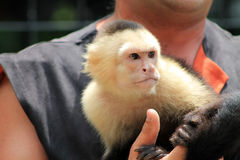 Pet monkey being held Stock Photo