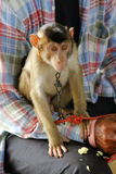 The pet monkey Royalty Free Stock Images