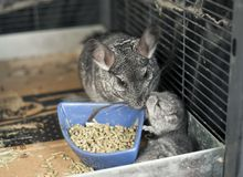 Pet mother Chinchilla with her kit Stock Image