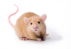 Pet Mouse Rodent Animal Royalty Free Stock Photo