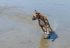 Pet o cão do pugilista que corre e que espirra na água da praia do oceano fotos de stock