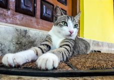 Pet o gato Foto de Stock Royalty Free