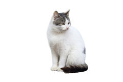 Pet o gato Imagens de Stock