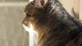 Pet o gato que olha fixamente no espaço video estoque