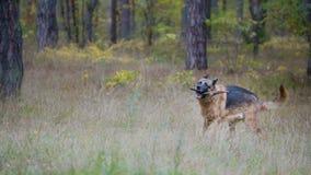 Pet o jogo com vara de madeira - cão-pastor alemão na floresta do outono fotos de stock royalty free