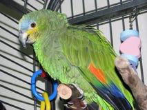 Pet o papagaio Alaranjado-voado das Amazonas que empoleira nele a gaiola do ` s imagens de stock