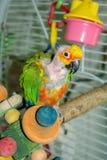 Pet o papagaio de Jenday Conure com cabeça e o pescoço arrancados, imagem de stock