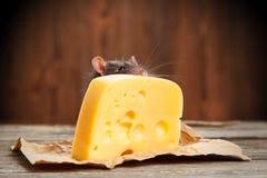 Pet o rato com uma grande parte de queijo Foto de Stock