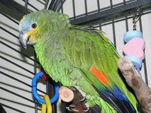 Pet Orange-winged Amazon parrot perching in it`s cage. Stock Images