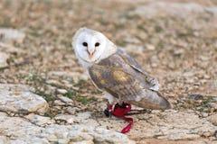 Pet Owl Stock Images