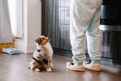 Free Pet Owner Training Puppy Dog To Obey. Cute Small Dog Pet Sitting On Floor Looking Up On Its Owner. Furry Friend Puppy Waiting For Stock Photos - 202656393