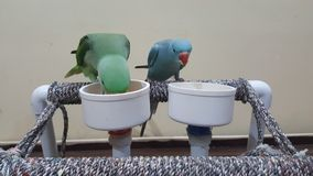 Pet Parrots Eating Stock Images